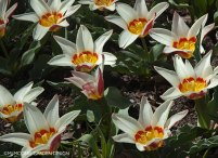 Dwarf tulip, very early blooming 'Ancilla'