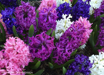 Hyacinth orientalis, the belle of Easter, very fragrant & colorful