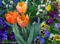 Tulip 'Princess Irene' and pansies, an early April medley