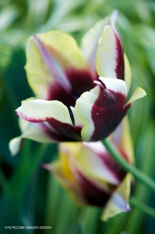 'Gavata' Triumph division tulips, burnt maroon centers encased in swirling yellow bands makes this a real standout in the garden