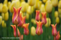 Lily-flowering tulip 'Ballerina', Majestic presence in peach and rose tones, long lasting in bloom