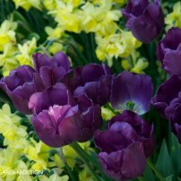 Deep purple Tulip 'Negrita in a swirl of pale yellow daffodils