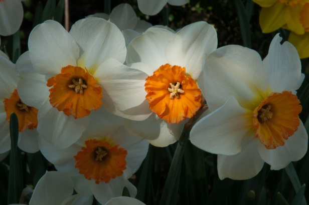 Narcissus 'Barrett Browning'is dazzling planted en mass under trees and in sweeping bunches in lawns—the strong contrast between white and orange makes this a real standout in the garden