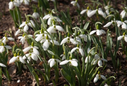 Galanthus nivalis or Snowdrops have a lovely simplicity and if you are patient, these bulbs will multiply and spread making lovely ribbons of white throughout your landscape. Snowdrops are especially impressive when they bloom near doorways or walkways so that they can be easily seen. Give them an area that is shady, perhaps planted under hellebores, ferns or hostas where they can enjoy dormancy during the summer. Or consider designating an area under trees and established shrub borders where the dormant bulbs can remain undisturbed thoughout the summer season while multiplying in abundance for their annual return.