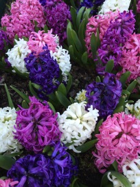 Hyacinthus orientalis are like flowering easter eggs— multicolored and super happy looking —tucked into garden beds they infuse the early Spring garden with waves of fragrance—plant in clusters and abundance as these flowers are repeat bloomers and deer resistant.