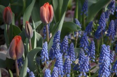 Low growing Tulip 'Princess Irene' & Muscari, grape hyacinths, are the perfect pairing for striking bold colors in the Spring garden— the inside of this low growing tulip is a flame of purple which echos the colors of the grape hyacinth.
