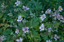 Tall, willowy and elegant Anemone japonica is the perfect addition to the Autumn garden.