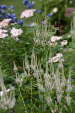 Veronicastrum virginicum--Culver's root is a willowy white wonder for the late summer border
