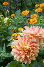 Dahlias are the perfect addition to the late summer garden