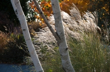Grasses and white birch.