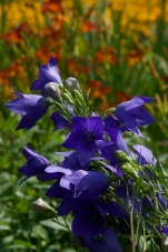 Platycodon--cobalt blue flowers with a backdrop of orange daylilies