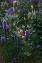 Purple Liatris/White Culver's root and Persicaria 'Firetail'