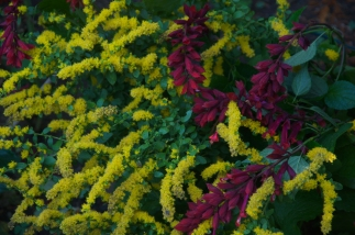 Vivid yellow Solidago with Salvia van houtii 'Paul'