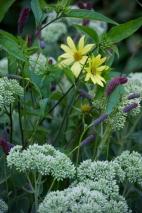 A great weaving of colors-- purple sanquisorba/Sedum 'Autumn Joy' & yellow Heliopsis
