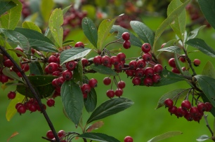 Aronia is a native shrub which has wonderful autumn berries