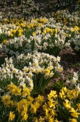 Big sweeps of daffodils enhance any landscape.