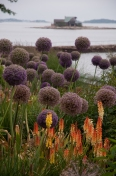 Late blooming with a commanding presence, Alliums steal the show in June.