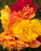Add a wow factor with hot colored peony-flowering tulips.