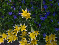 Enliven your blue-flowering myrtle ground cover with soft yellow colored tulip 'tarda.'