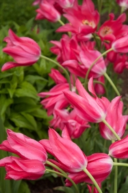 Hot pink lily-flowering tulips add a dramatic statement.