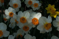 Narcissis 'Barrett Browning' blooms in mid-April.