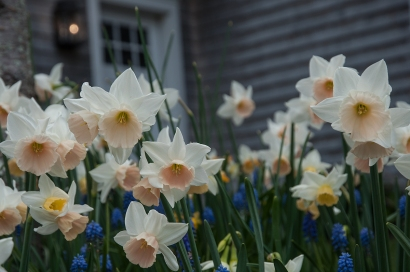 Petite dwarf daffodils provide a finished look to a spring walkway.