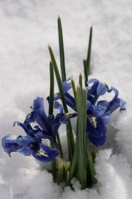 Emerging through snow Iris reticulata can really feed a winter weary soul.