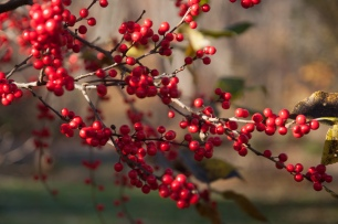Cedar waxwings and American robins will flock to these native hollies for winter food