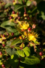 Hypericum 'Kolmuni' — Bright yellow flowers give way to gold and maroon berries--a perfect addition to the late Fall garden