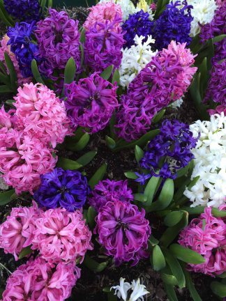 Like a basket of colored Easter eggs, Hyacinths add joy and wonderful fragrance.