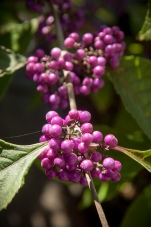 Luminous purple berries glow in the autumn landscape