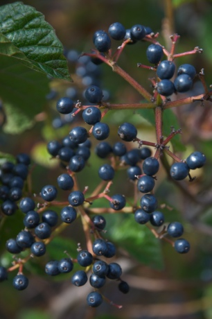 Viburnum dentatum 'Chicago Luster' — Steel blue berries that glow in the autumn light