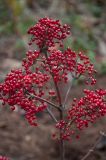 Viburnum 'Cardinal Candy' — Groupings of these shrubs are a wonderful backdrop to your property line, and the berries persist for many weeks