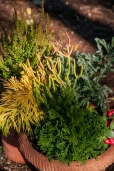 Winter container with heather, multi-colored evergreens and red berried Gaucherie.