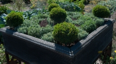 A container with 4 season interest--dwarf boxwood and creeping thymes.