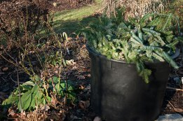 Layering cut up evergreen branches over your perennial garden will protect the crowns of plants. In addition, any coming snows will provide and extra layer of insulation--ensuring healthy plants in the spring