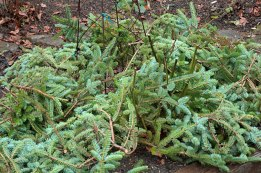 Use evergreen boughs to protect roses for the winter.