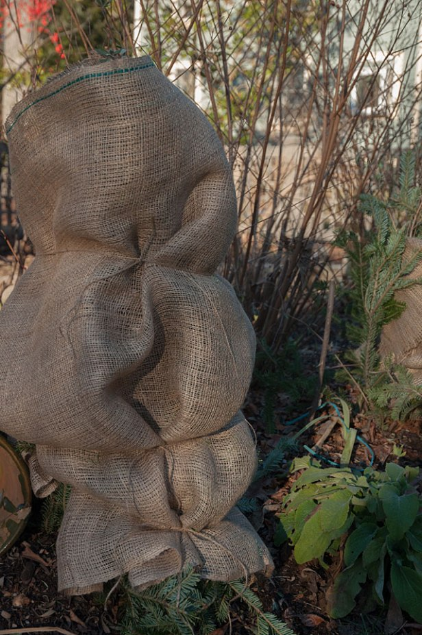 After spraying hydrangea and roses, wrap the entire plant in burlap and secure with ties. This will help to ensure that the plant is protected during deep freezing temperatures as well as protection from harsh winter winds.