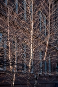 A grove of white birch catches the sunlight to reveal wonderful branch patterns.
