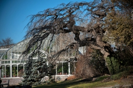 An ancient Camperdown Elm becomes a piece of sculpture in the winter landscape.