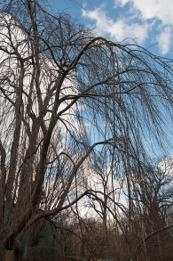 Weeping Cherry shows its cascading effect against the winter sky.