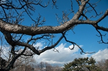 Horizontally reaching branches reach out into the landscape to echo the surrounding clouds.
