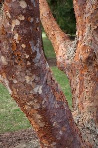 Paperbark Maple has interesting cinnamon colored bark that naturally peels revealing pale smooth bark underneath.