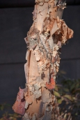 The peeling bark of the white birch adds an unexpected element to this tree/