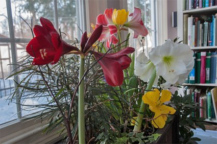 Amaryllis flowers are easy to grow and provide wonderful color during the winter months