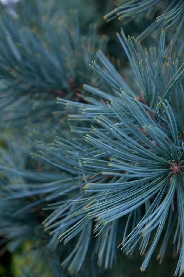 An exquisite blue pine - Pinus flexlis 'Extra Blue'