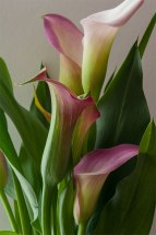 Calla Lilies provide an elegant and dramatic statement