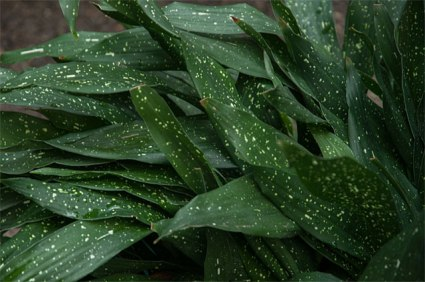 Aspidistra or cast-iron-plant--and old fashioned, tough house plant for low light areas --this variety has spotted leaves which makes the plant more interesting--the most unfussy plant you can grow
