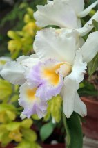 Cattleya orchids look intimidating but given the right conditions they will rebloom every year--Put them in a window that gets morning sun, allow the soil to dry out before watering--they prefer cool nights which will include flowering in the winter--Summer them outdoors in a shady spot
