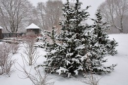 Fernspray Cypress - super dark green foliage that stands out in the snow